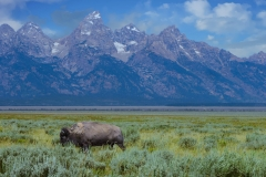 Buffalo grazing near Grand Tetons, WY