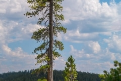Pine Tree, Grand Canyon of the Yellowstone